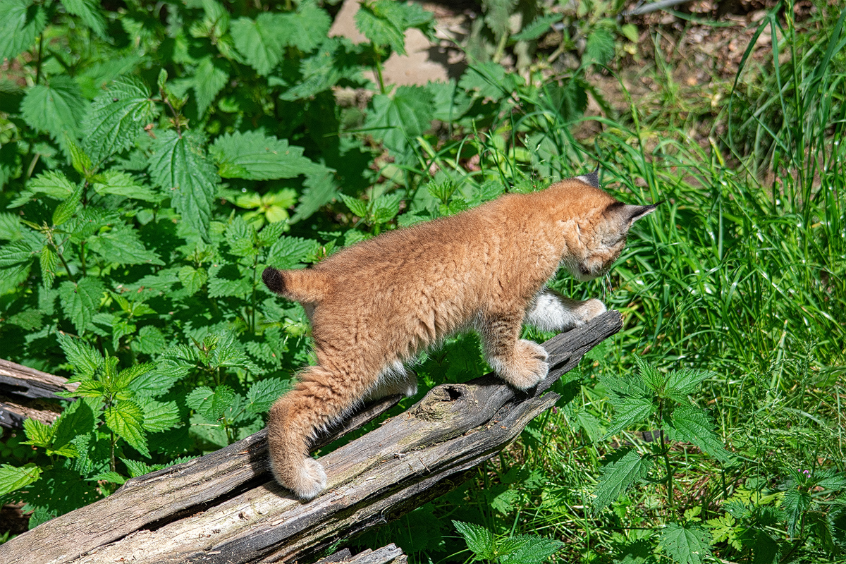 Tierfotografie: Luchs, Lynx lynx